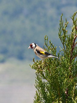 goldfinch-1394251__340.jpg