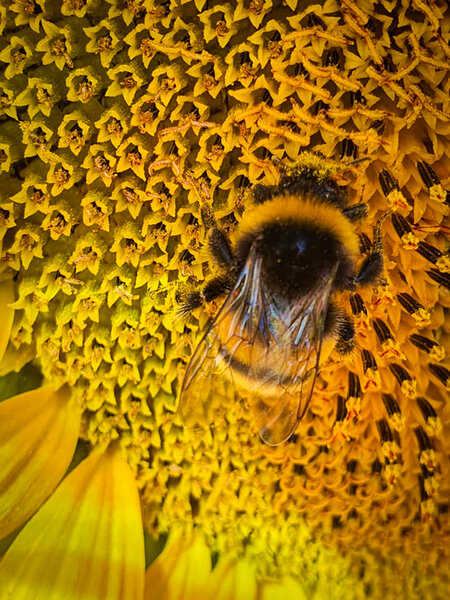 Bourdon sur un tournesol